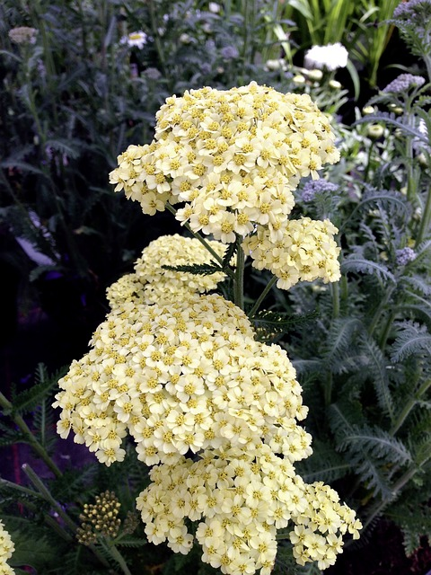 Achillea aka Yarrow is one of the most popular low-maintenance perennials around!
