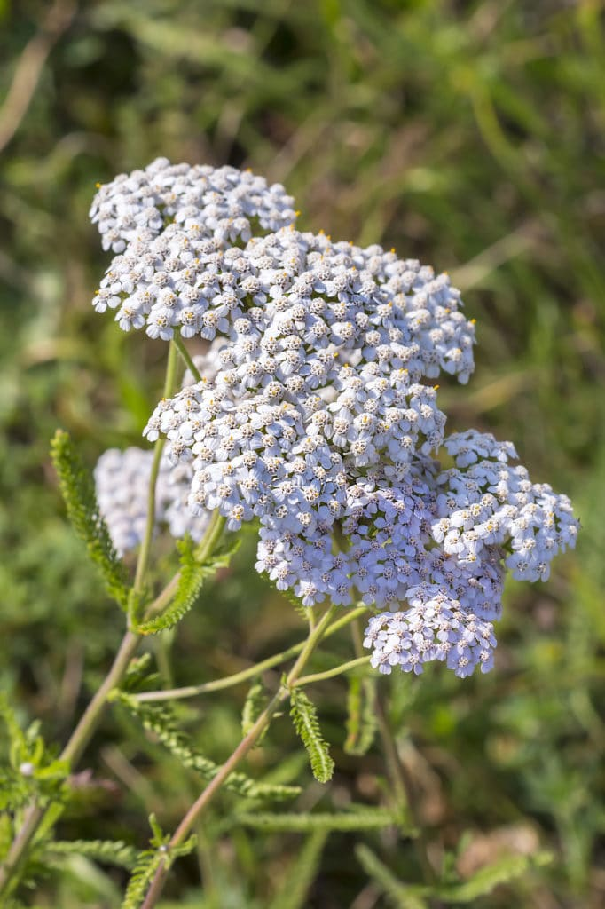 Achillea - low-maintenance perennials