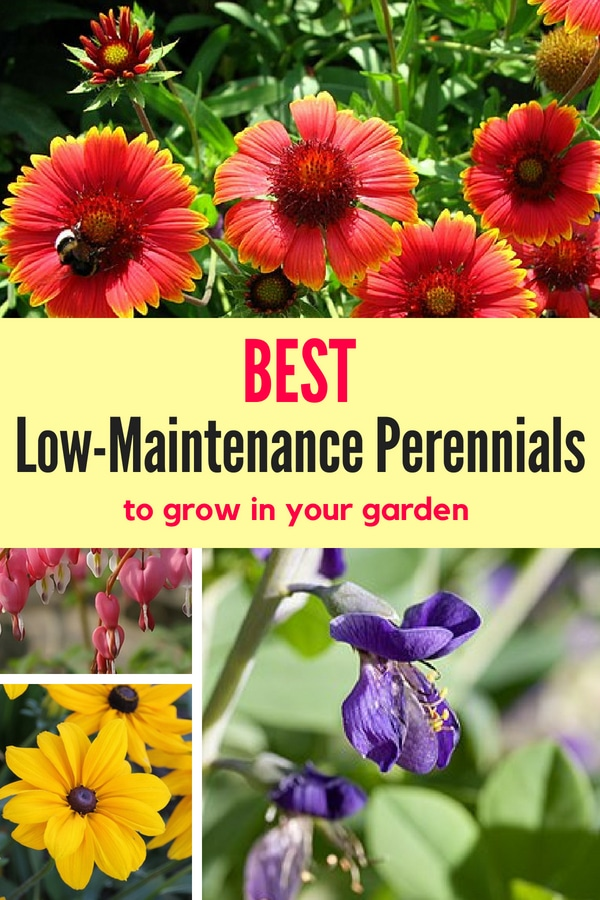 The best low-maintenance perennials to start growing in your garden! These perennials are both beautiful and easy to care for!