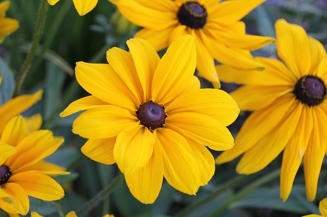 Black Eyed Susans are one of the brightest and prettiest low-maintenance perennials in existence!