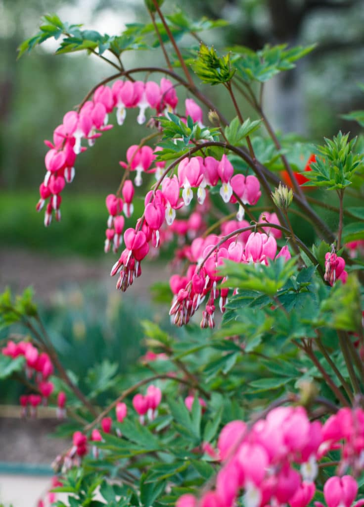 Bleeding-heart perennial flowers