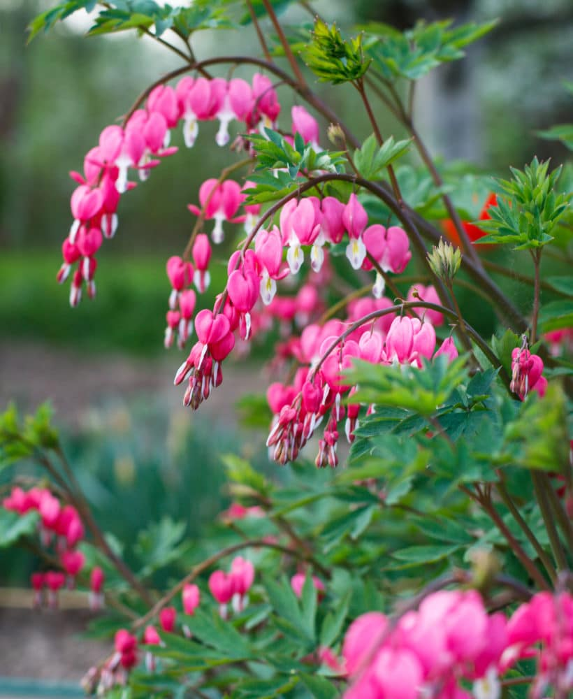 Bleeding-heart shade perennial flowers