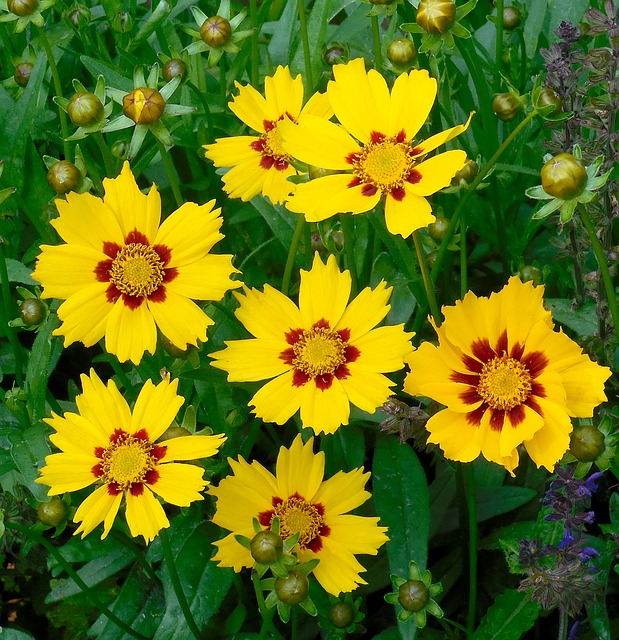 Coreopsis Flower Low Maintenance Perennial