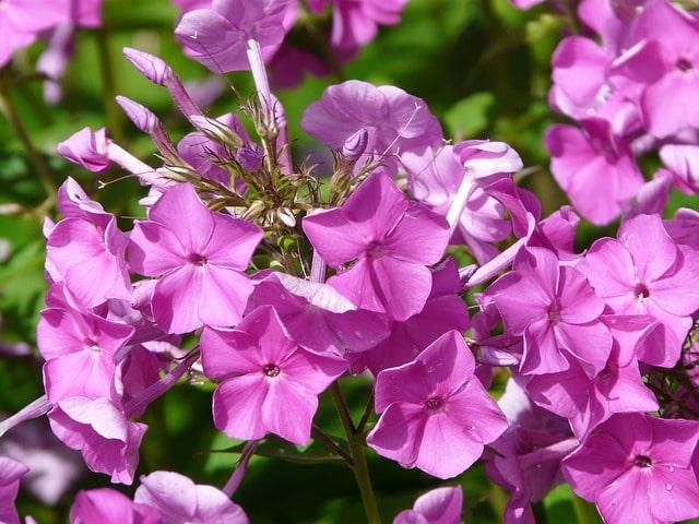 Garden Phlox Perennia