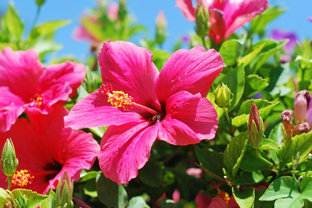 Hibiscus Low Maintenance Perennial