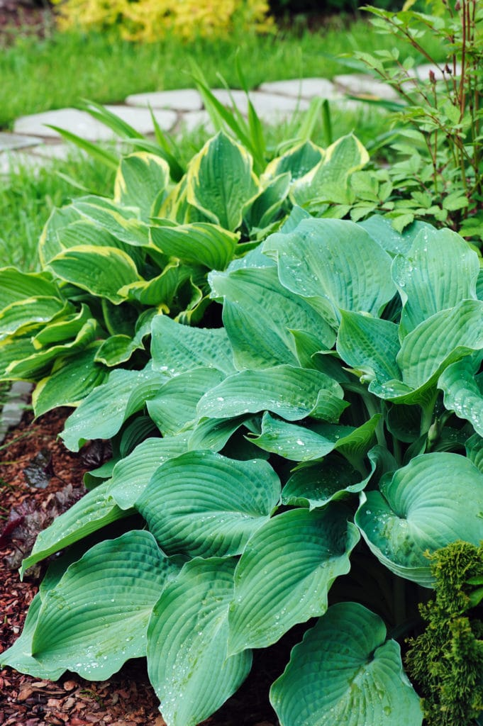 Hosta low-maintenance perennial