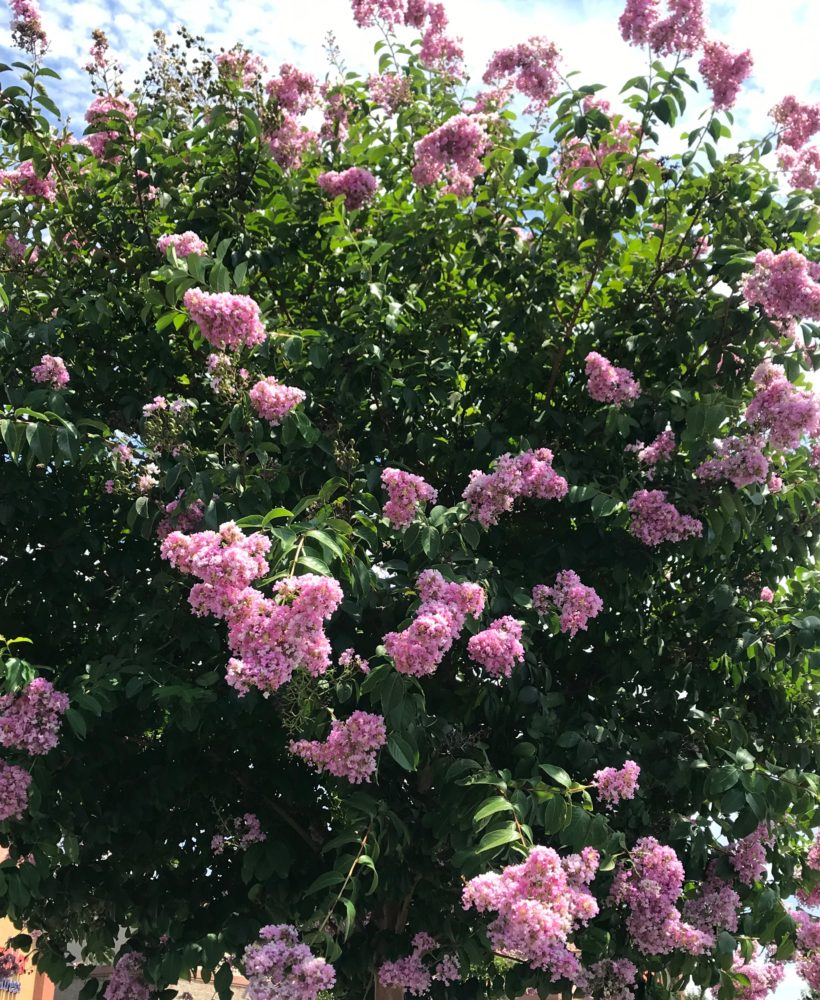 Learn how to grow Crepe Myrtle Trees!