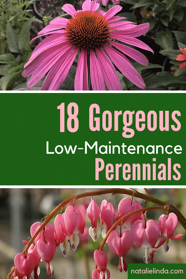 These low-maintenance perennials are easy to grow and care for and will bloom in your garden year after year!