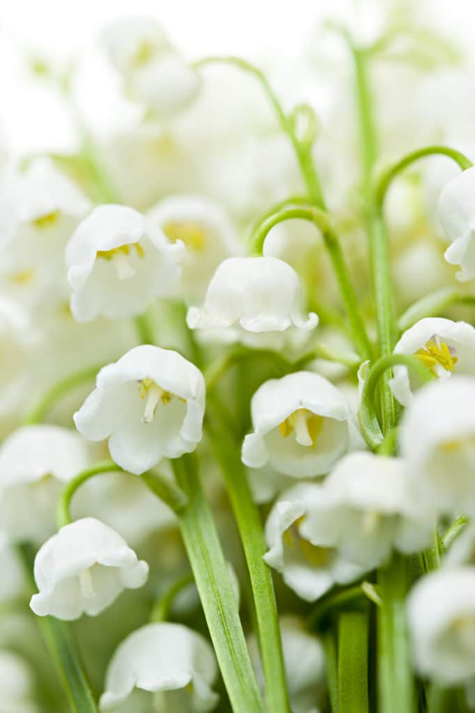 Lily of the Valley - low-maintenance perennial
