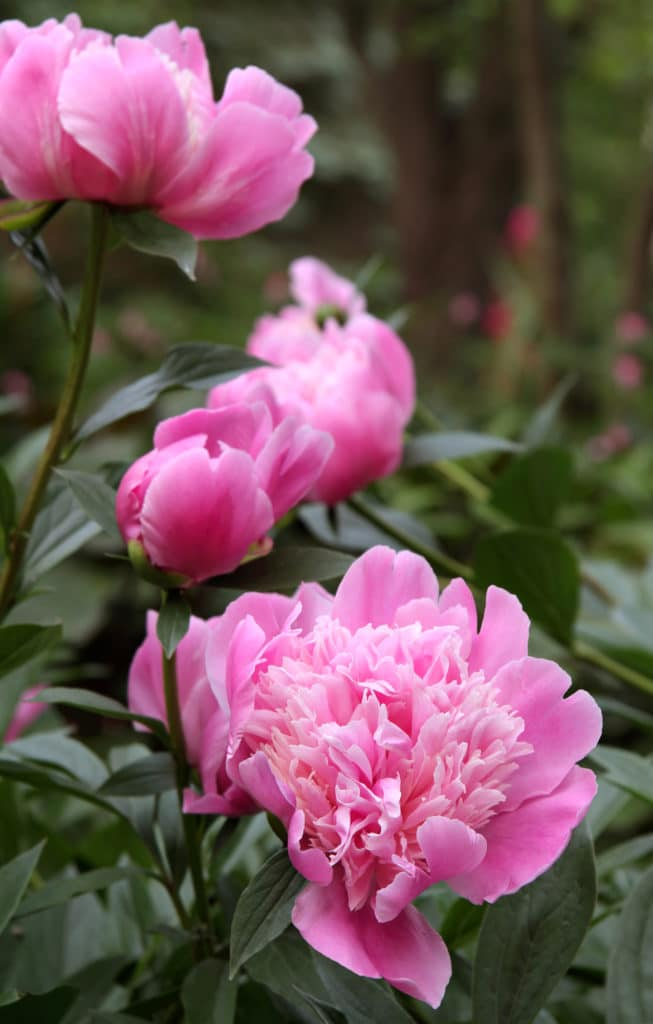 Peonies Low-maintenance perennial