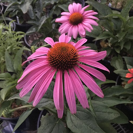 Prairie Splendor Purple Coneflower is one of the easiest low-maintenance perennials to grow!