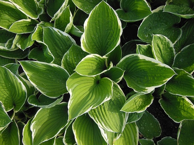 Grow hosta as a low-maintenance perennial!
