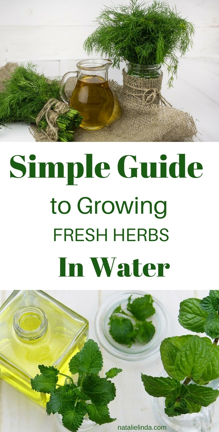 Learn how to grow herbs in water so that you can have fresh herbs at your disposal all year long!