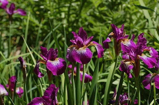 Iris Sibirica Low Maintenance Perennial