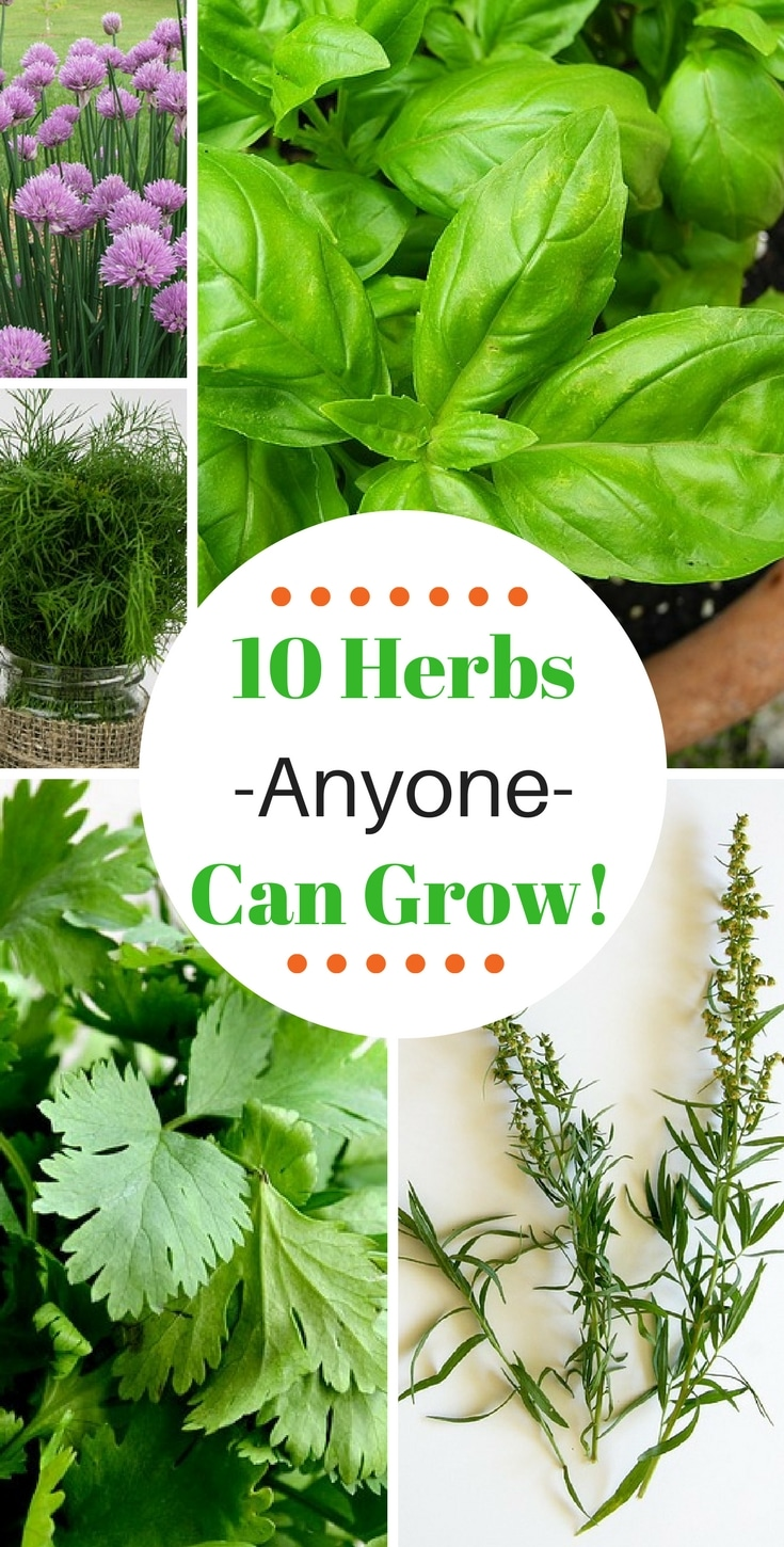 These 10 herbs that are super easy to grow, even for beginners! Grow them indoors or outdoors!