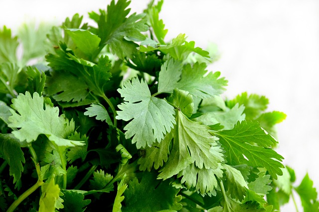 Cilantro Easy to Grow Herb