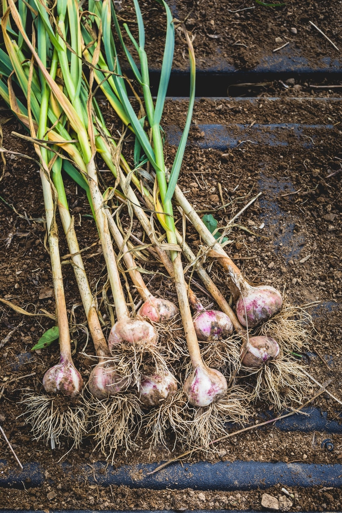 Garlic is one vegetable among many that can thrive in containers!