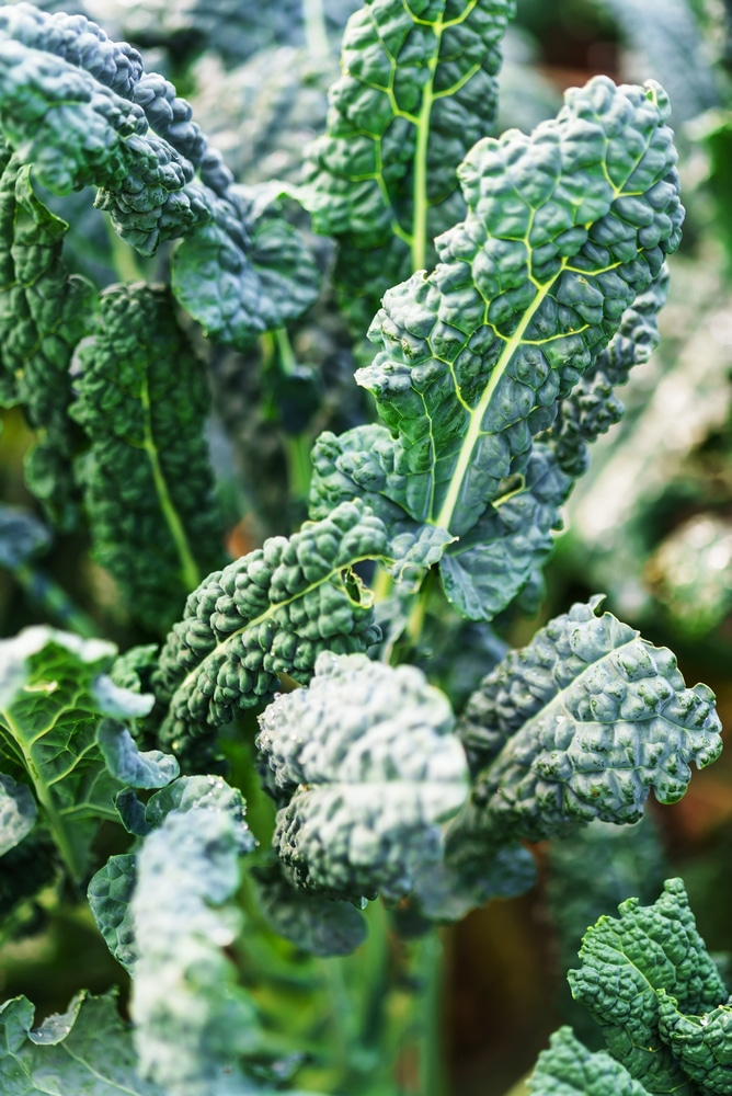 Kale is a leafy vegetable that thrive in containers!