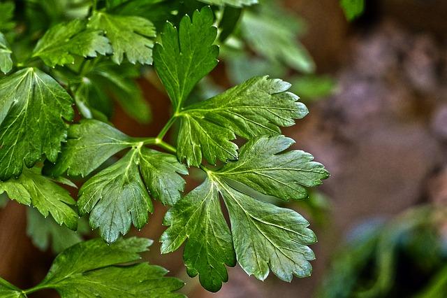 Parsley Herb Plant
