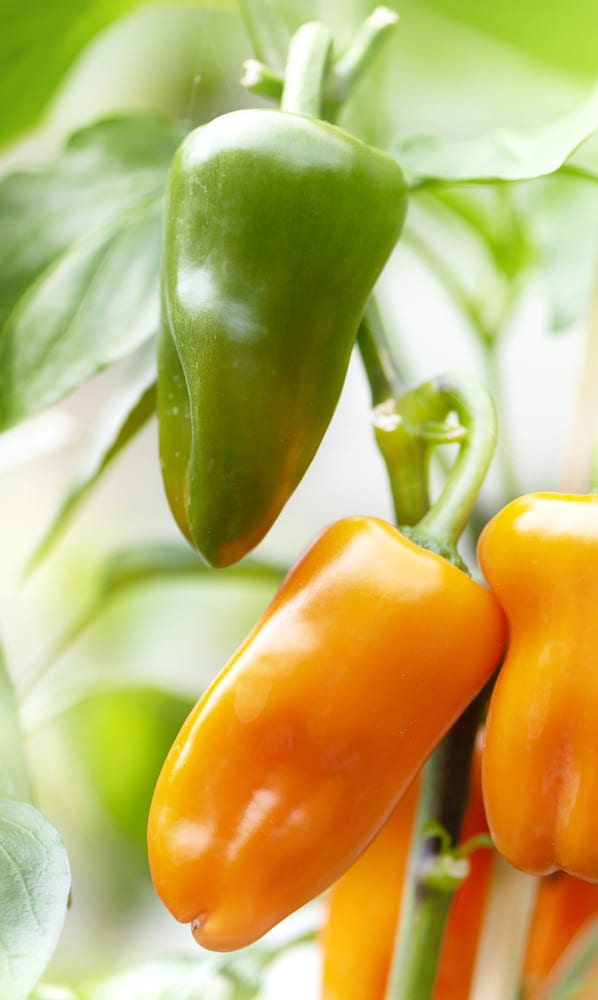 Peppers are an excellent vegetable to grow in containers!
