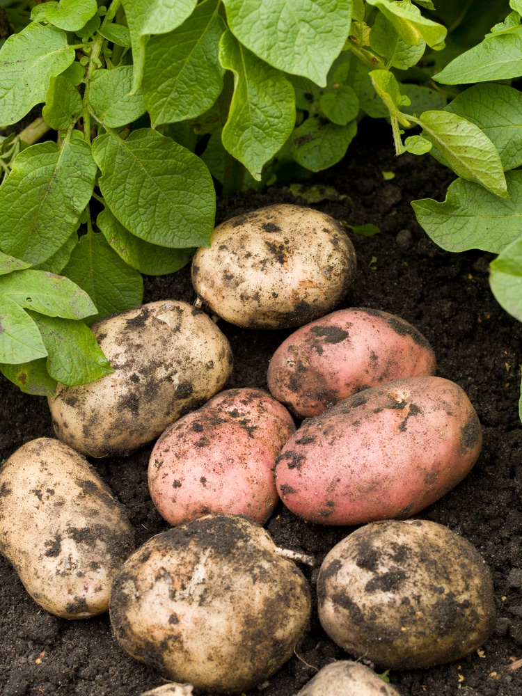 Potatoes are vegetables that can be grown in containers!