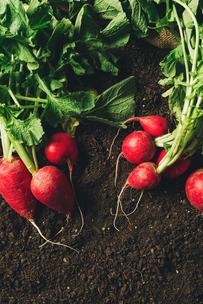 Radishes in one of 16 vegetables that grow in containers!