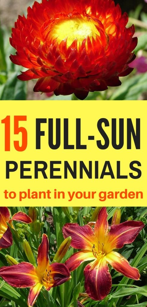 Beautify your garden with these full-sun perennials!