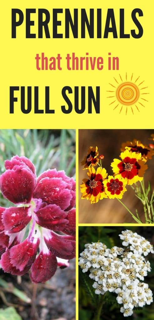 Beautify your garden this Spring with these perennials that thrive in full sun! Added bonus- most of them are also low-maintenance perennials!