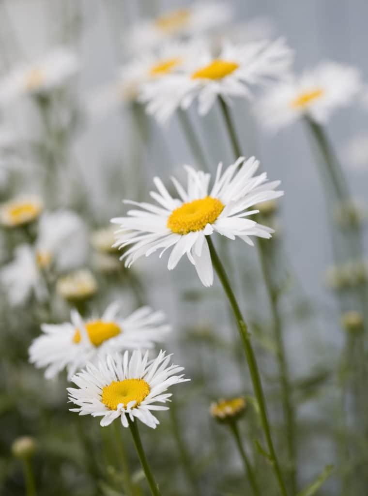 Daisy full sun perennial