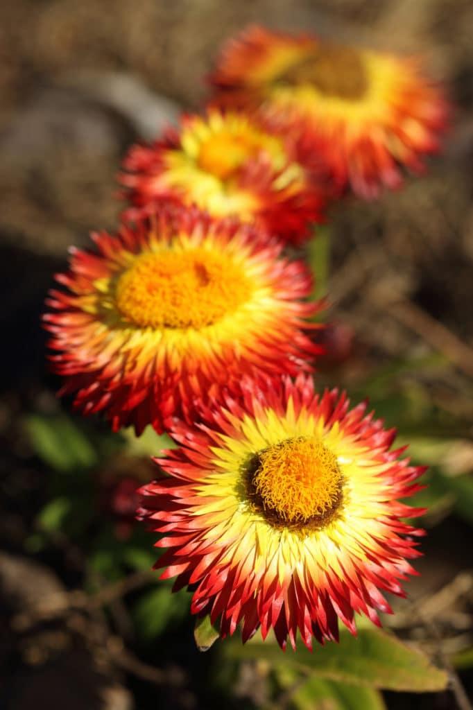 Straw Flower Full Sun Perennial