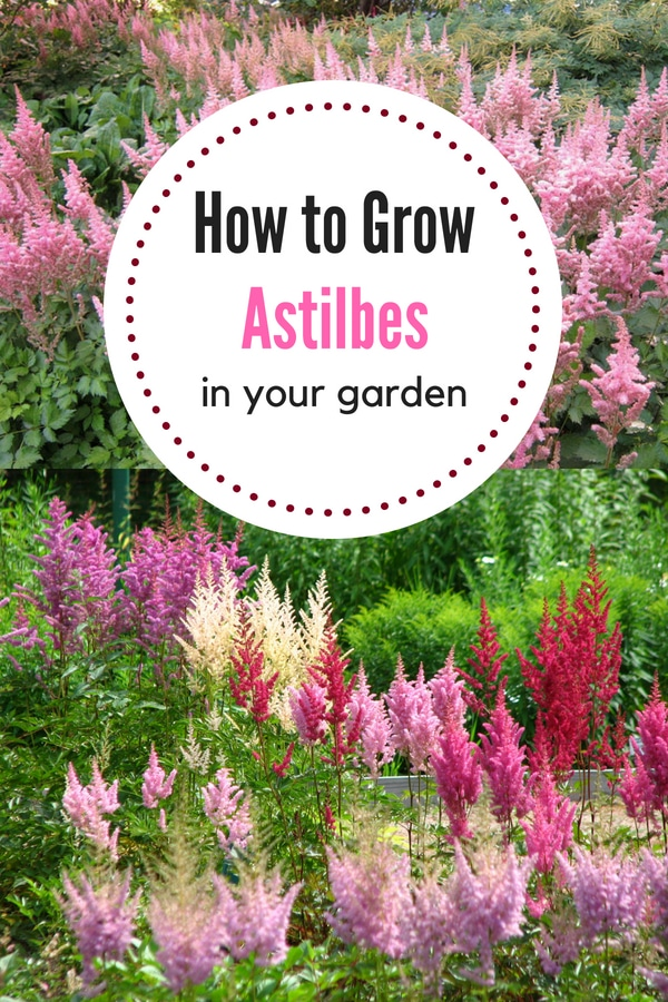 Learn how to grow astilbes in your garden! This low-maintenance perennial is easy to care for with these simple tips!