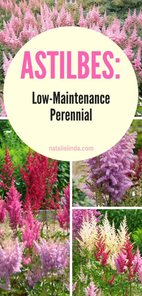 Learn how to grow astilbes in your garden! They're a low-maintenance perennial which means you canplant it once and then enjoy them for several years to come!