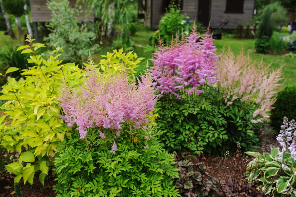 Learn how to grow astilbes with this simple growing guide!