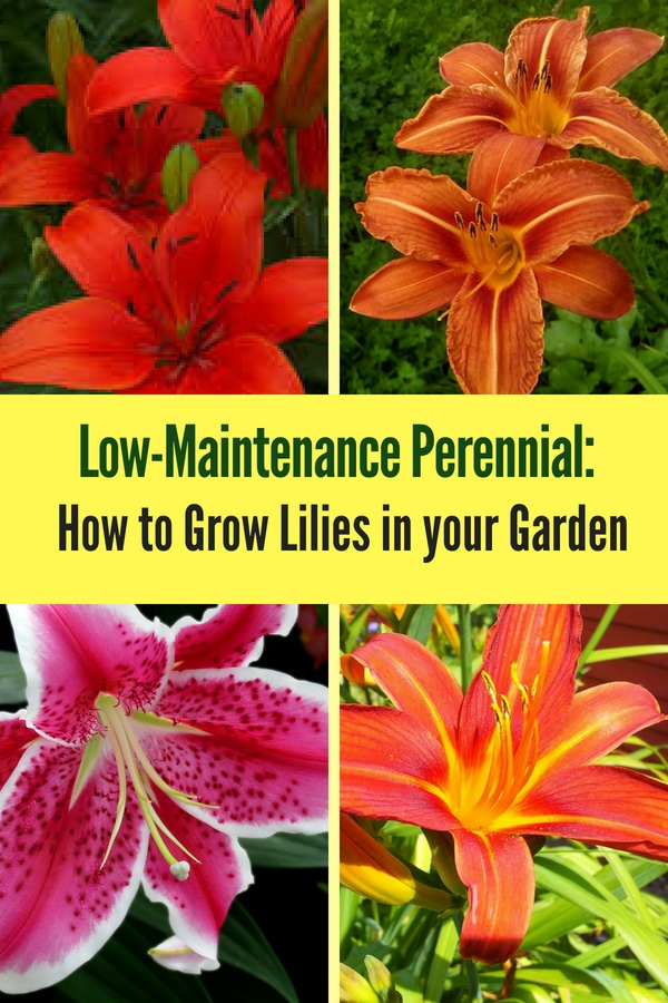 Learn how to grow lilies in your yard! The lily flower is a low-maintenance perennial that's very easy to care for!