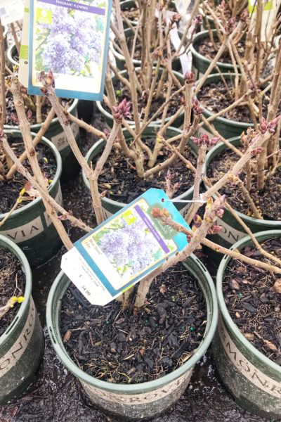 Buy lilac bush containers to grow beautiful lilac bushes!