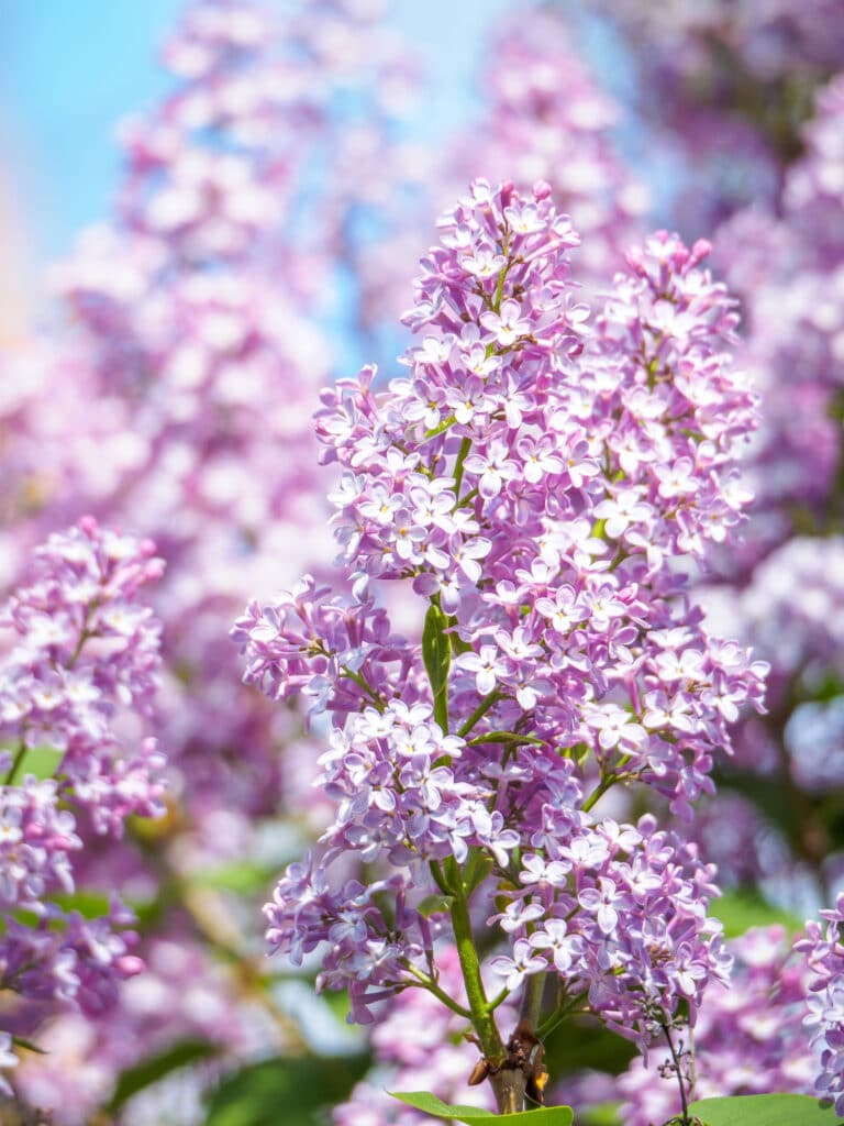 Learn how to plant and grow lilacs in your own yard!