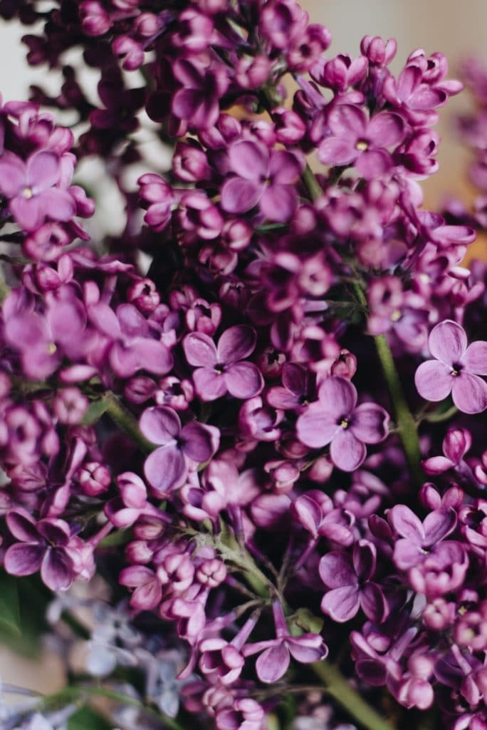 Learn how to grow a lilac bush so you can have beautiful lilacs in the Spring!