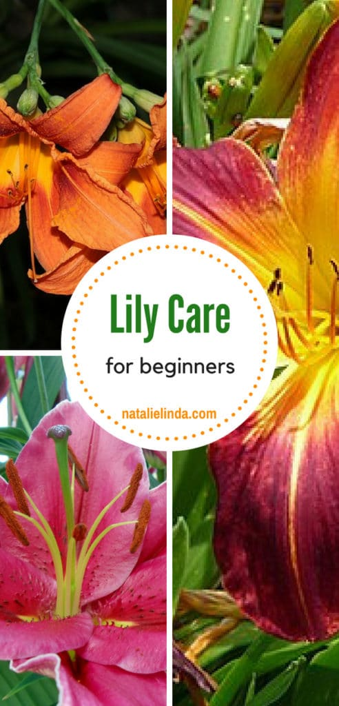 Learn what you need to know about taking care of lilies so you can grow them in your garden for years to come! Lilies are one of the prettiest low-maintenance flowers and one of the easiest to grow, too!