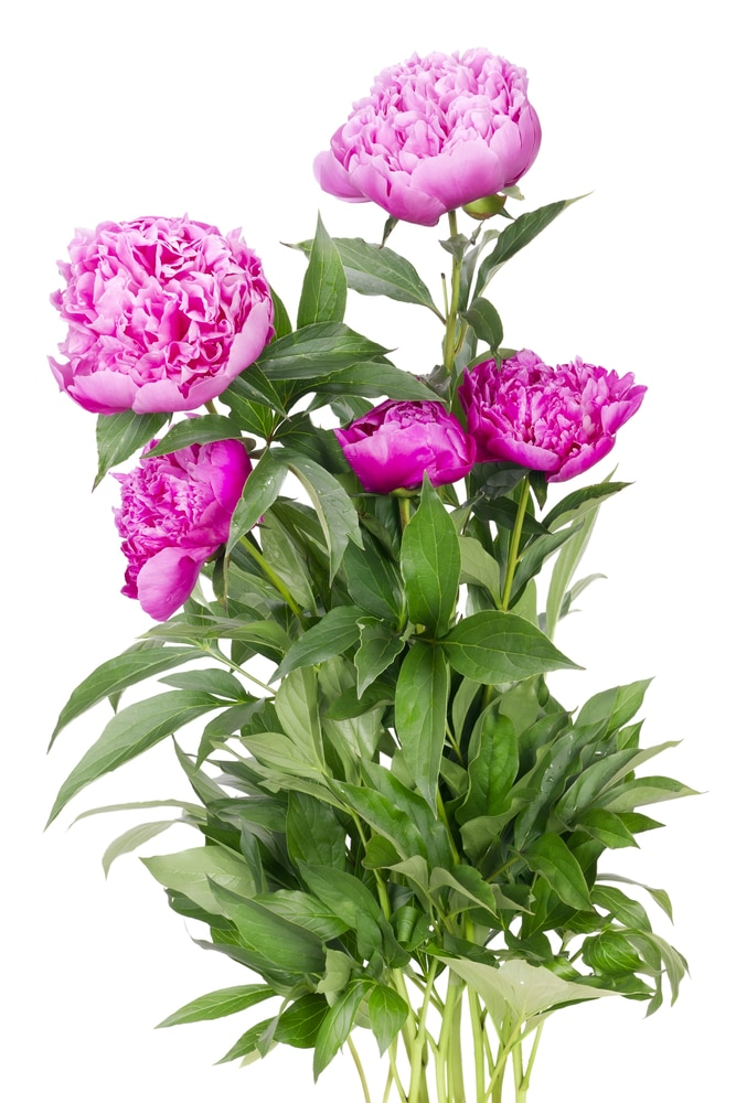 Learn how to take care of your peonies with these simple tips!