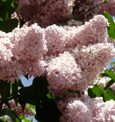 How To Grow Lilac Bushes