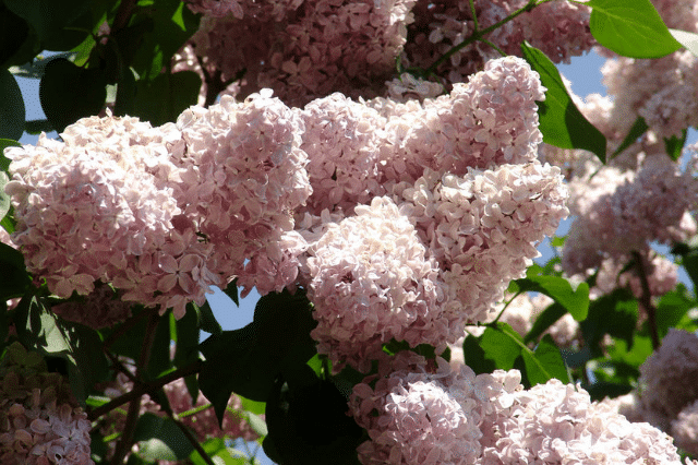 How to Prune Lilac Bushes