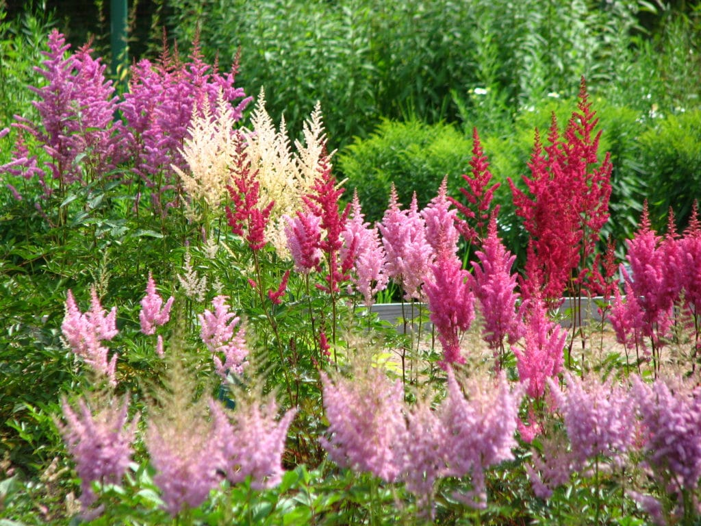 Learn how to grow astilbe in your garden!