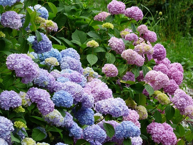 Learn how to grow hydrangeas for Summer bloom!