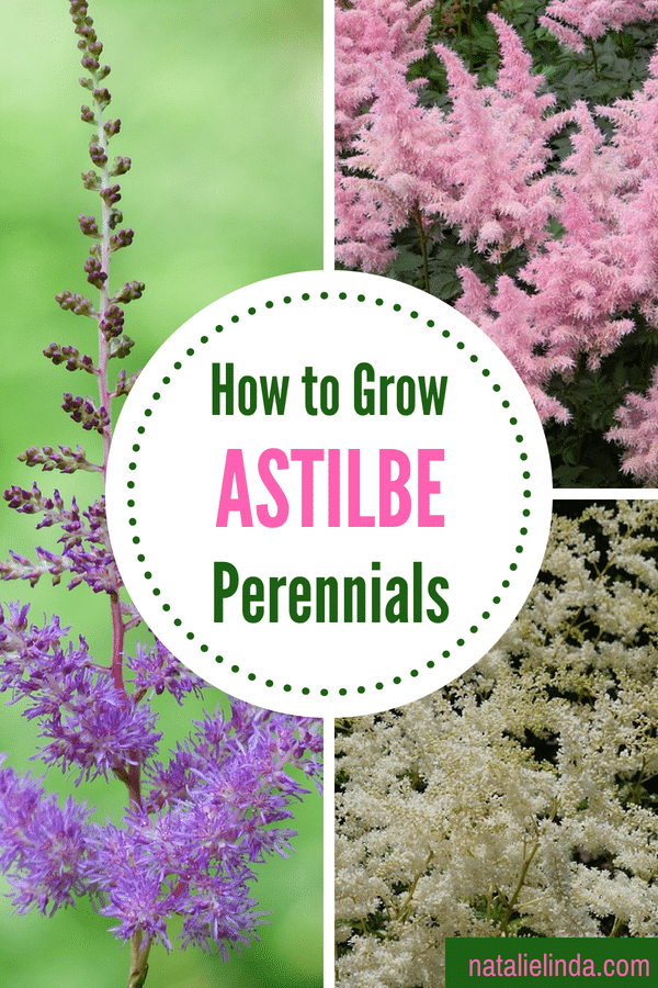 Learn how to grow astilbes in your garden - they're beautiful AND low-maintenance!