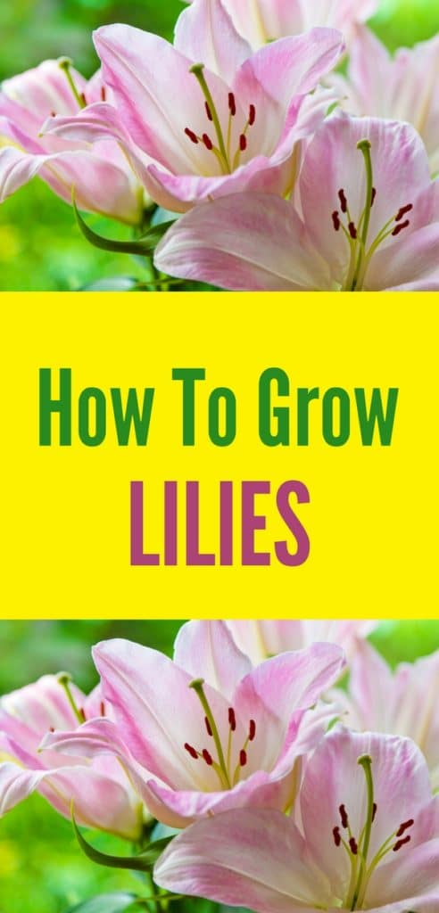Learn how to grow lilies this year! This low-maintenance perennial is easy to take care of and looks gorgeous paired alongside ferns and other full sun perennials!