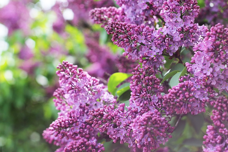 Grow lilac bushes this Spring in a few simple steps!