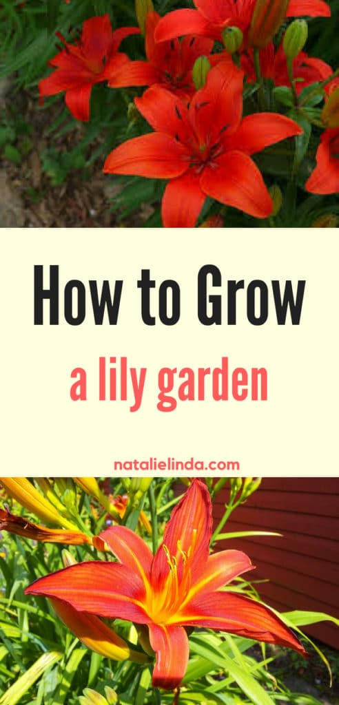 Read this easy how-to guide to learn how to grow your own lily garden! This beautiful and low-maintenance perennial will easily adorn your garden for many years!