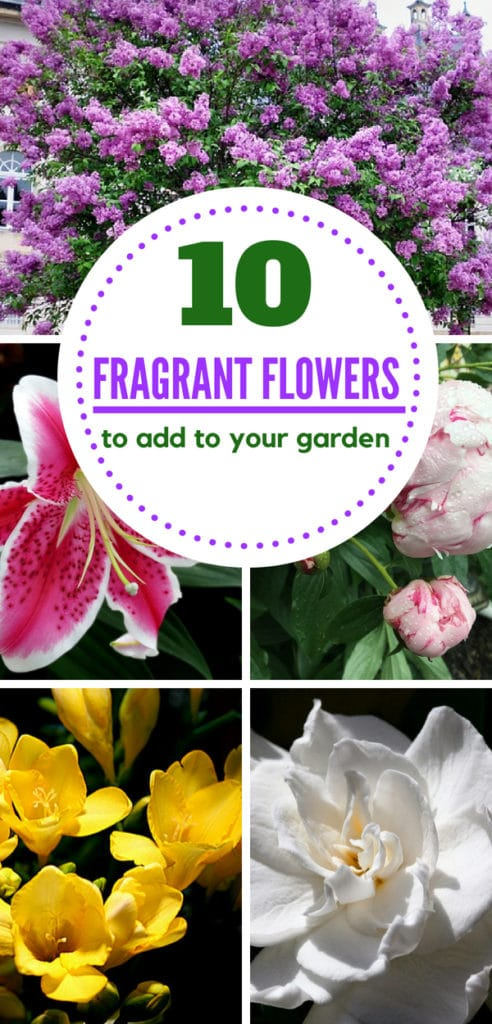 If you want a fragrant garden, make sure to plants a few of these best-smelling flowers in your garden! #gardenideas