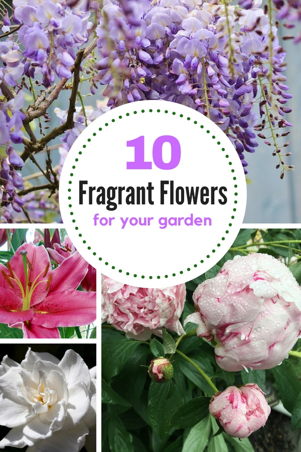 Check out this list of 10 best-smelling flowers if you're looking to grow a fragrant garden this year! #gardenideas #gardening #perennials #lowmaintenanceperennials