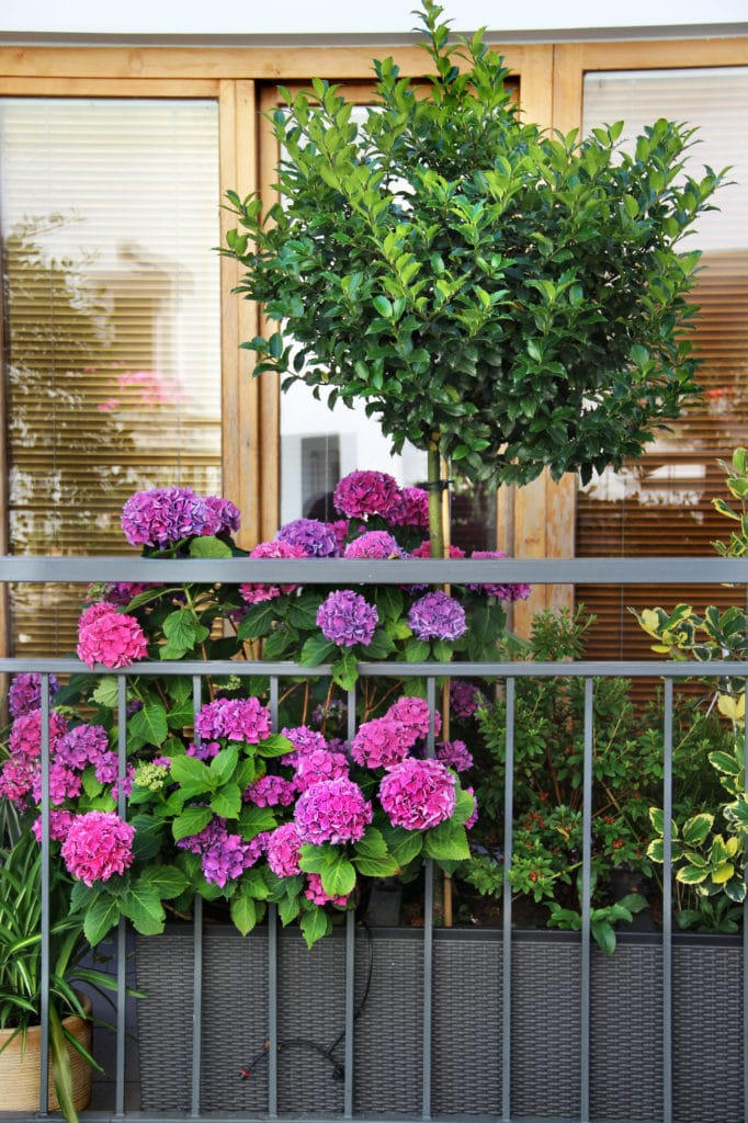 Learn how to care for hydrangeas with this guide!